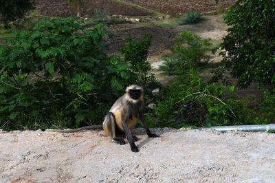 scimmianera